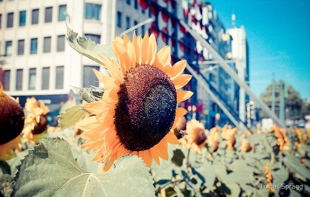 Urban Sunflowers by Tomas Spragg