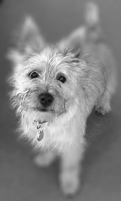 Cairn terrier by photogenie1