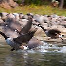 Canadian Geese taking flight, St. Lawrence River, Ontario by David Galson