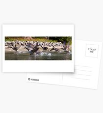 Canadian Geese taking flight, St. Lawrence River, Ontario Postcards