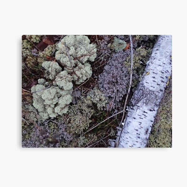 Silver and Lichen Canvas Print