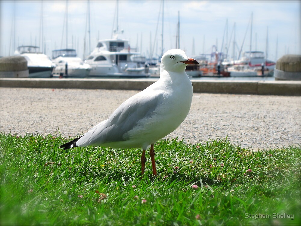Seagull by Stephen  Shelley