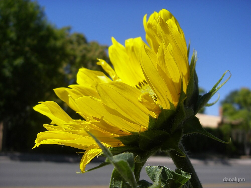 Santa Fe sunflower by danalynn