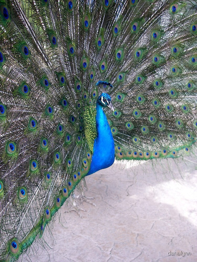 Peacock - San Diego Zoo by danalynn