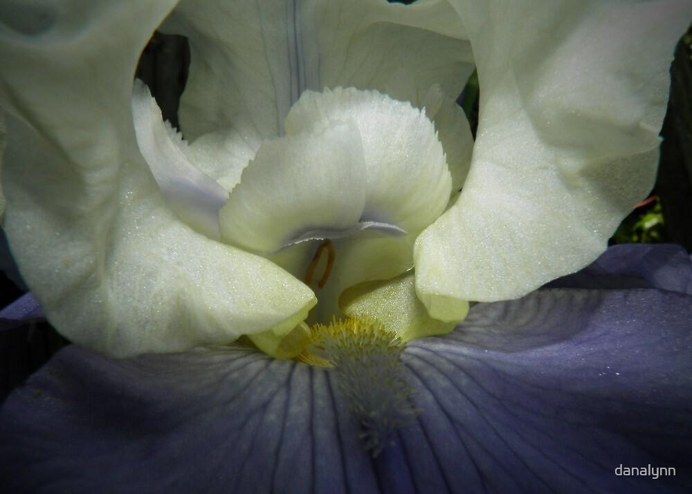 Closeup of Iris by danalynn