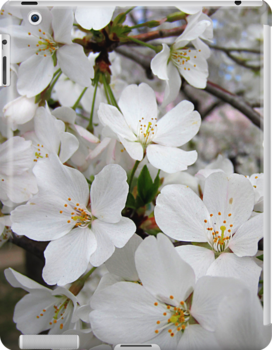 Cherry Blossoms 1 by photonista