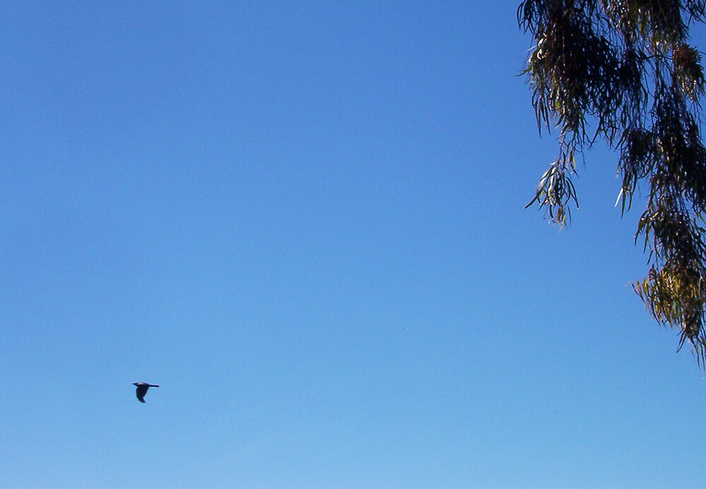 Crow In A Blue Australian Sky 09 11 12 by Robert Phillips