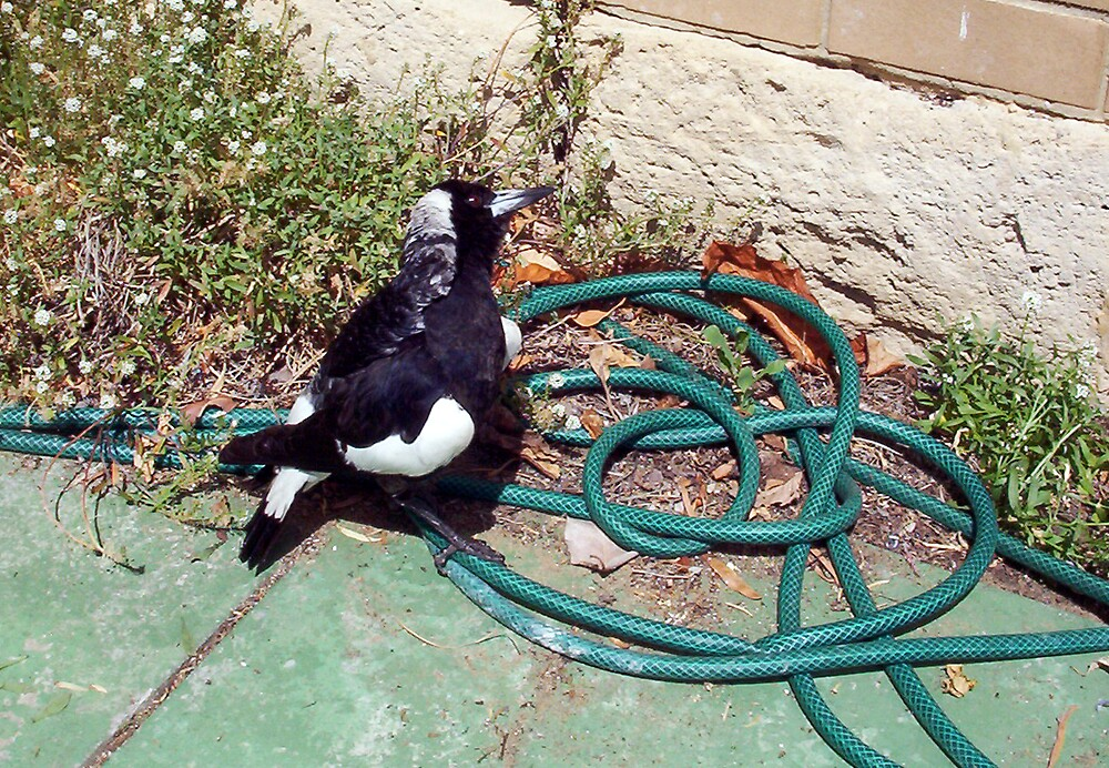 Magpie - 07 11 12 -  Ten by Robert Phillips