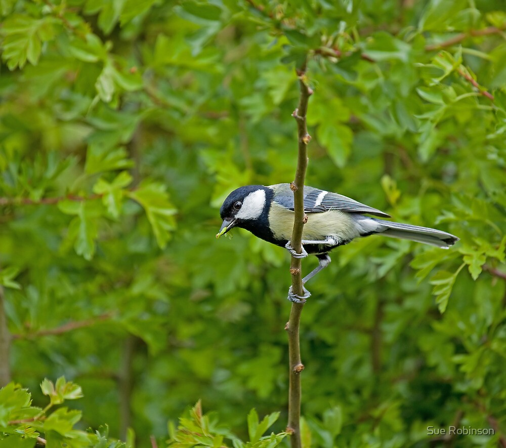 Great Tit and caterpillar by Sue Robinson