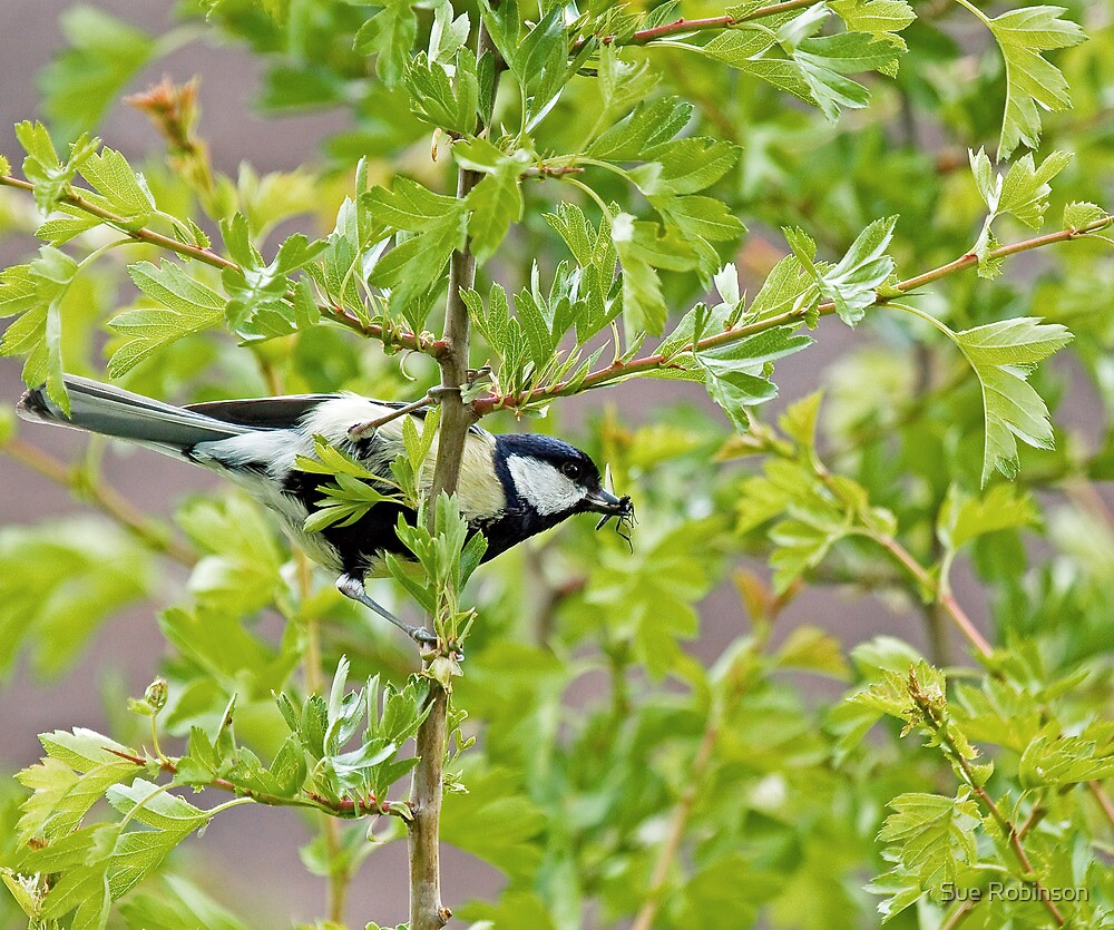 Great Tit with insect by Sue Robinson