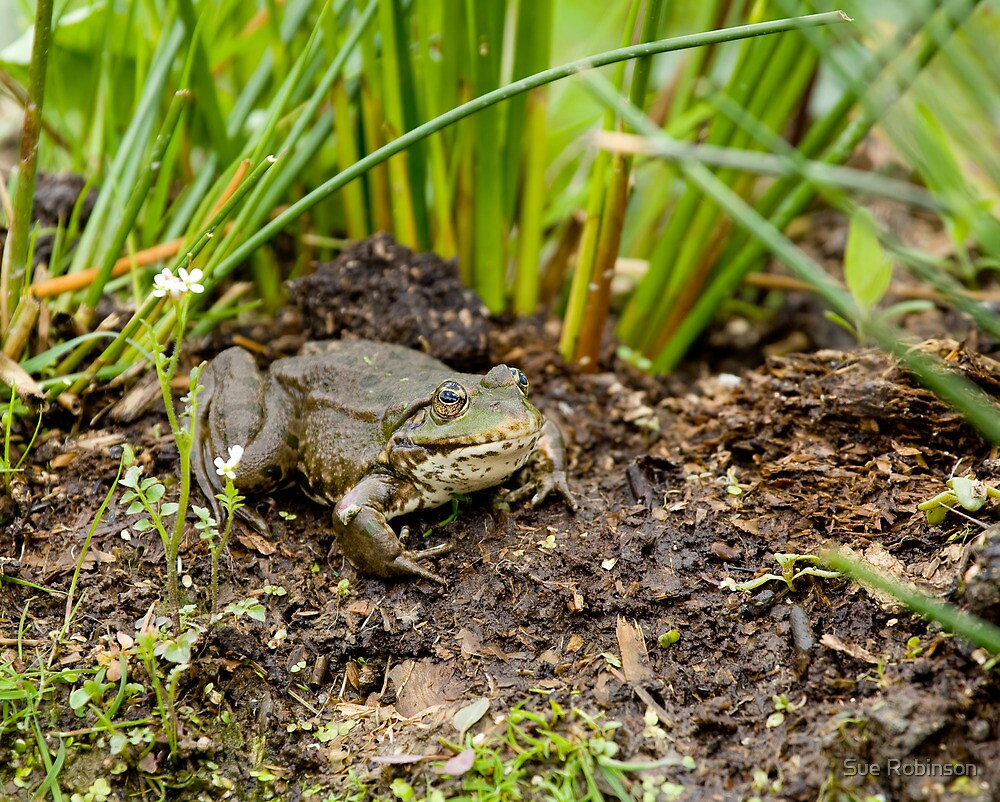 Marsh Frog by Sue Robinson