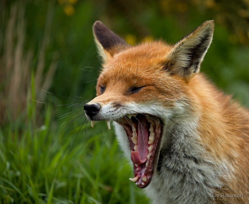 Quot Red Fox Yawning Quot By Sue Robinson Redbubble