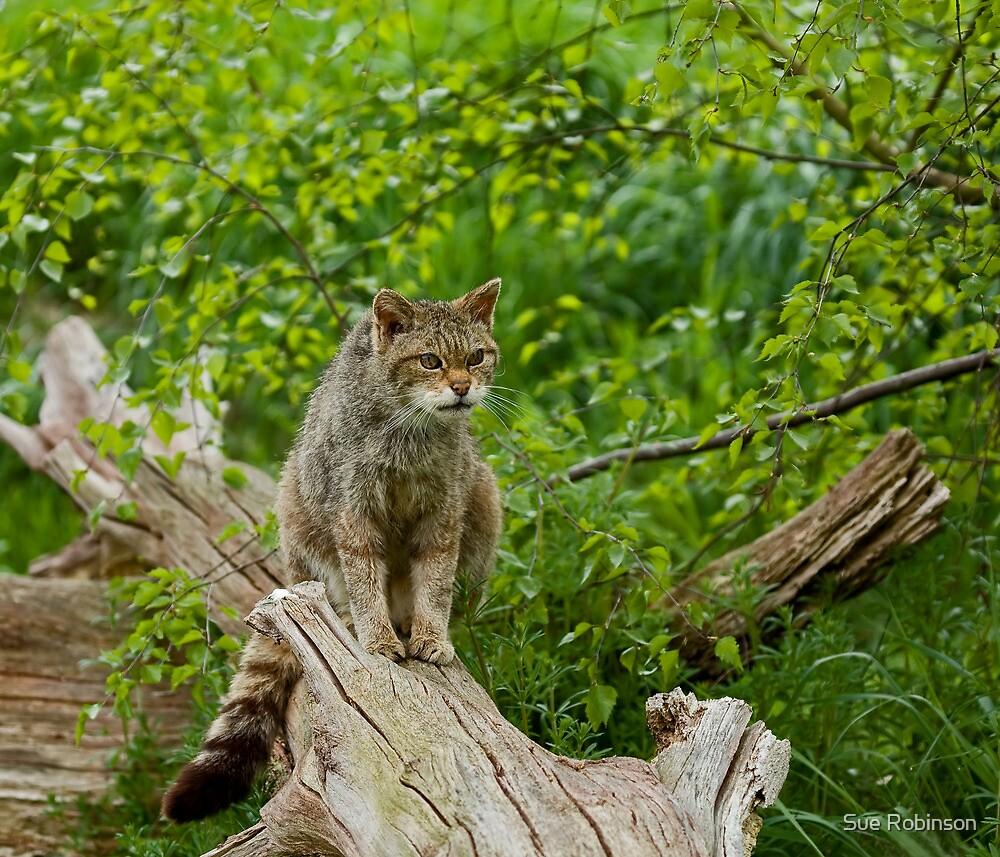 Scottish Wildcat by Sue Robinson