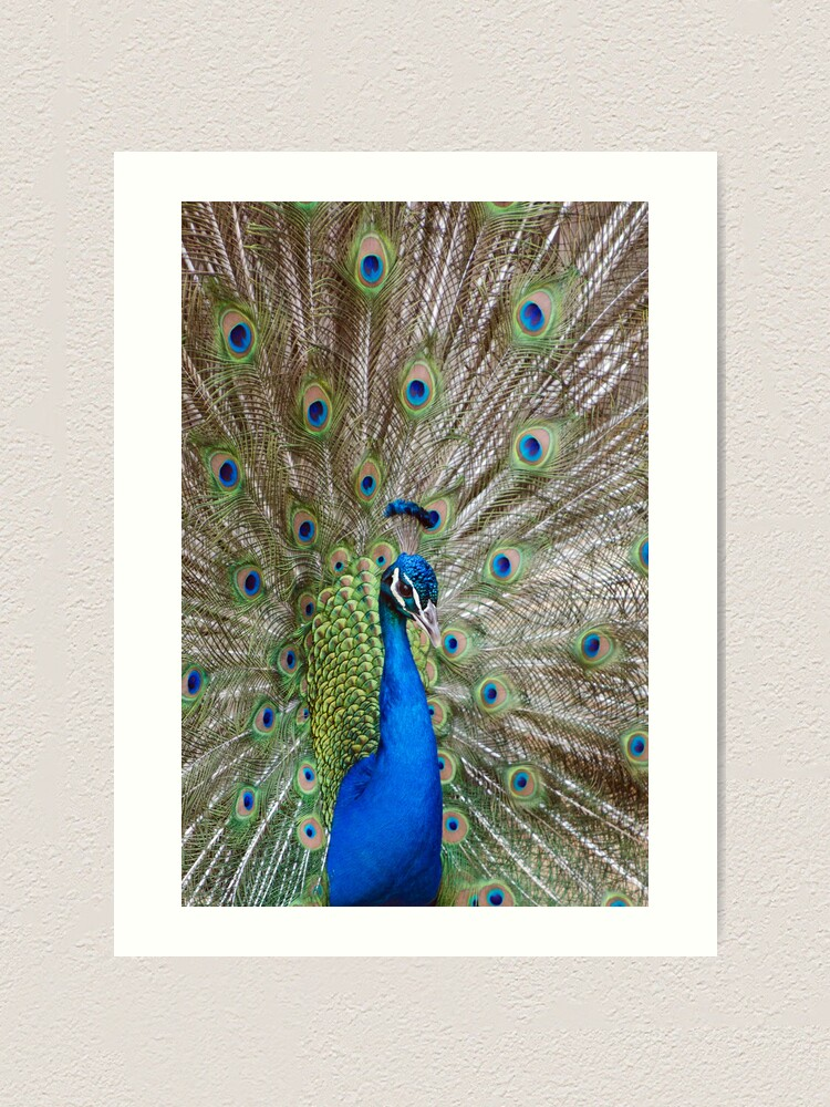 Alternate view of Peacock - Show Off Art Print