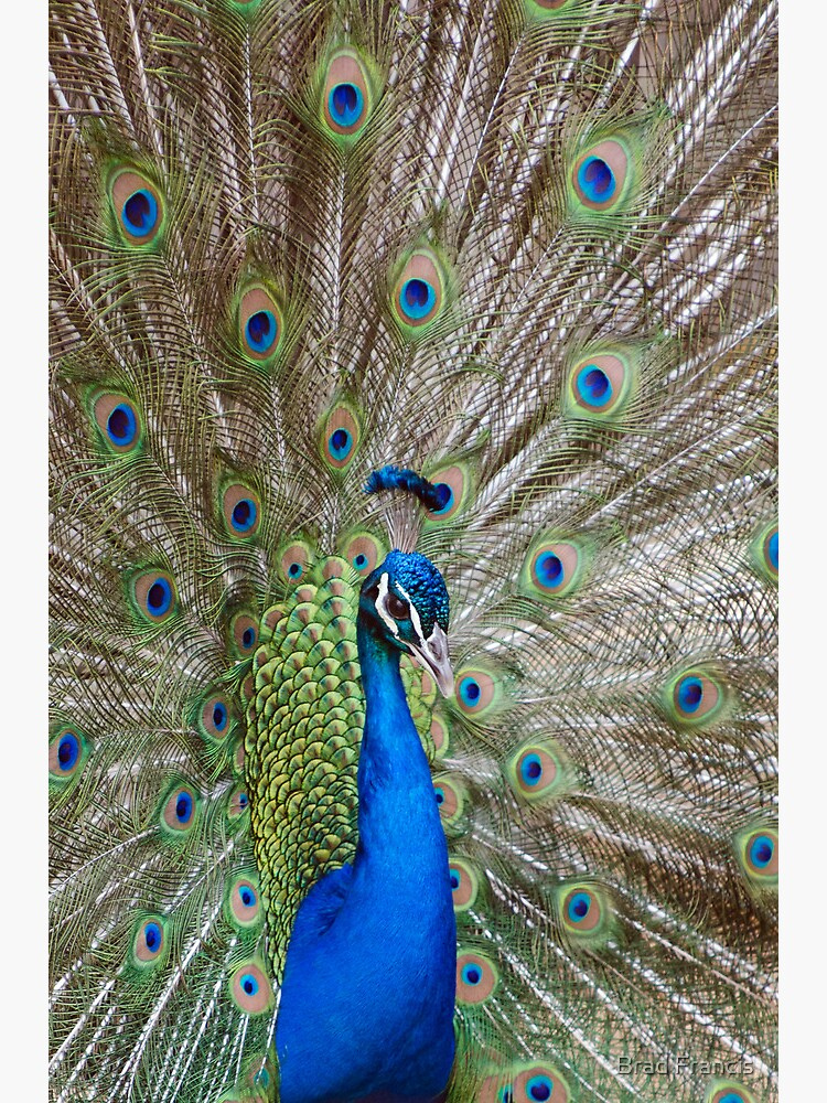 Peacock - Show Off by bfra