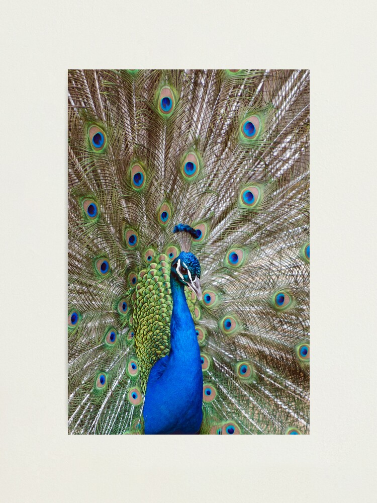 Alternate view of Peacock - Show Off Photographic Print