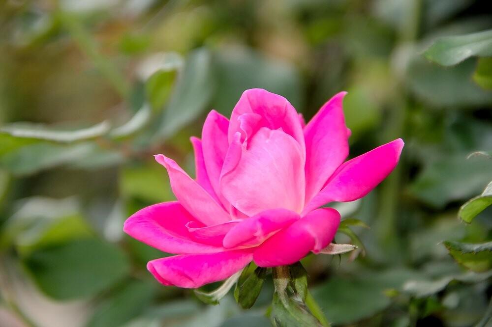 Pink Blush Rose by BlackTopaz