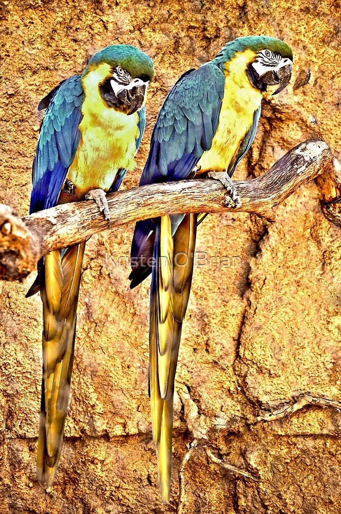 Macaws by Kristen O'Brian