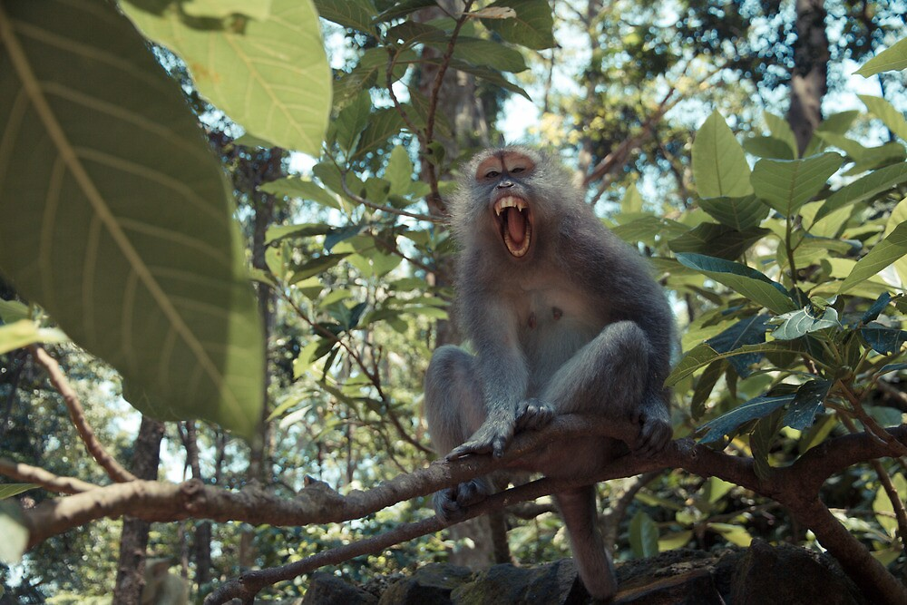 Angry monkey by halans