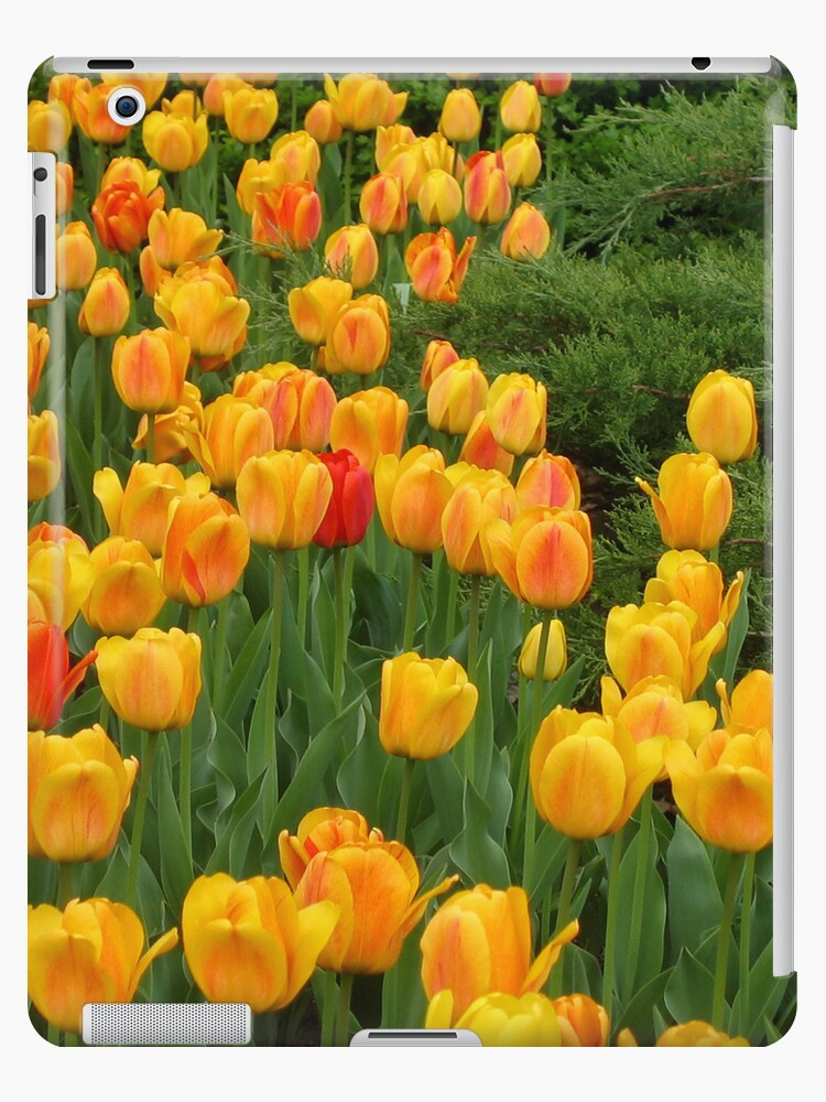 Tulips 6 by photonista