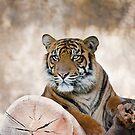Siberian Tiger by zzsuzsa