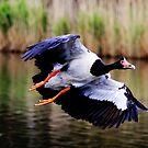 A Pie In The Sky  ~ Magpie Goose ~ by Kym Bradley