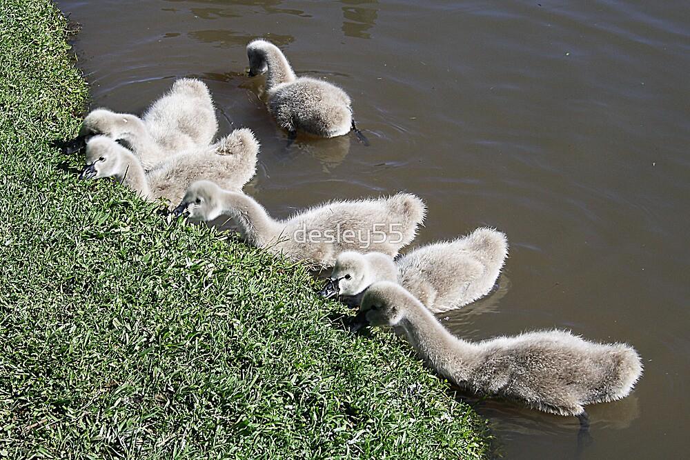 Cygnets- Baby Black Swans by desley55