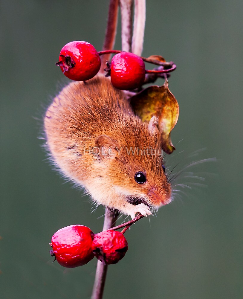 Harvest Mouse by Elaine123