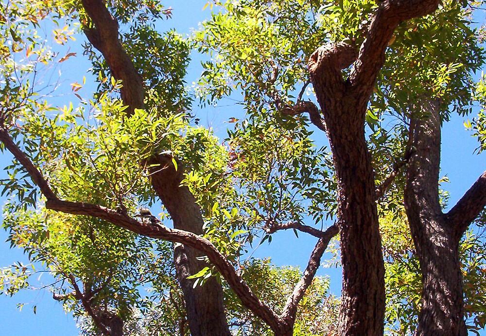 Kookaburra In A Great Tree - 10 11 12 by Robert Phillips