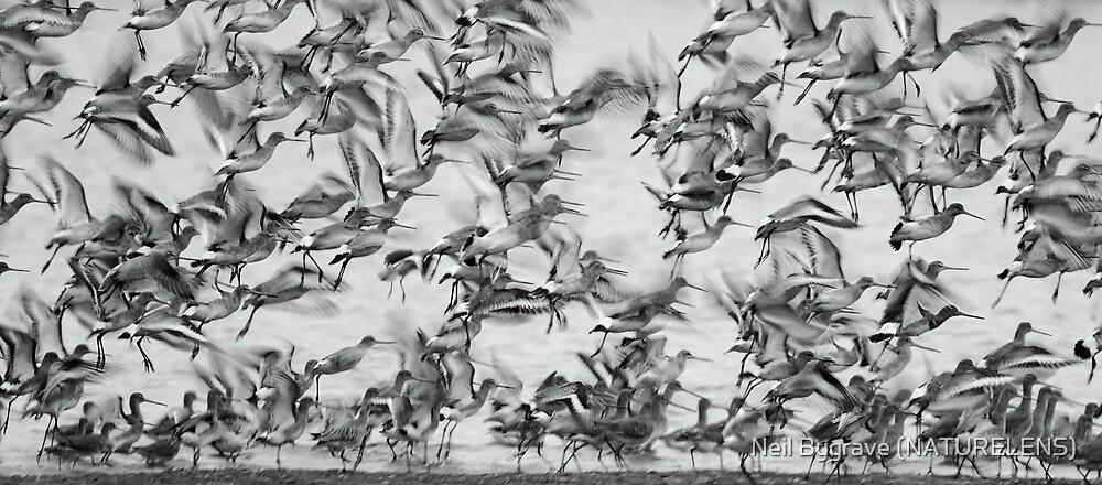 Godwits by Neil Bygrave (NATURELENS)