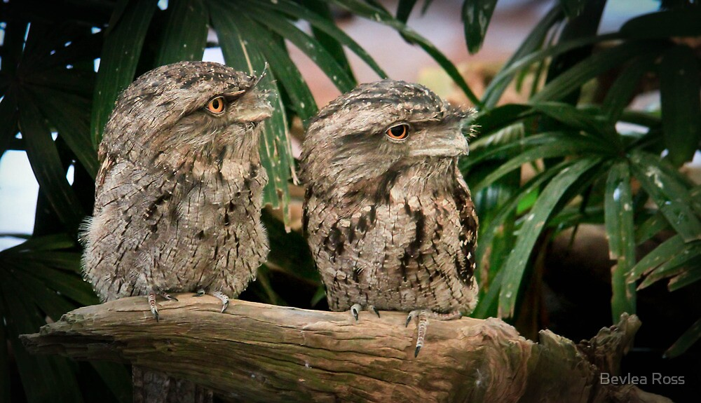 Tawny Frog Mouth by Bevlea Ross