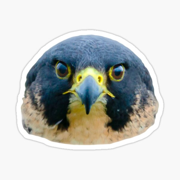 The Eyes of a Peregrine Falcon Sticker