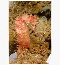 Thorny Seahorse - Hippocampus histrix Poster