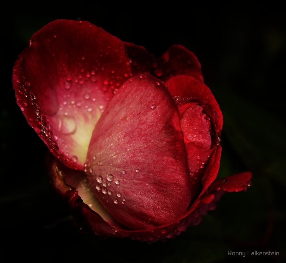 The Rose - Remember the rain by Ronny Falkenstein