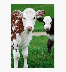 Two Calves Photographic Print