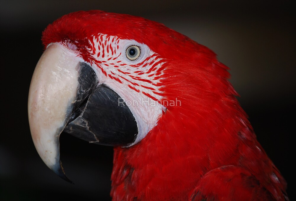 Scarlet Macaw by Ronald Hannah