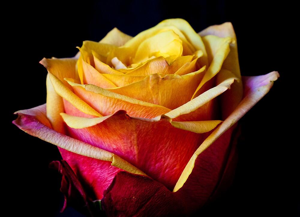 Rose by mattking2