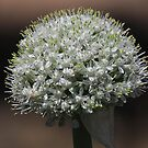 Onion seed head....no need for tears, by R-Summers