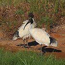 Mawson Lakes Ibis....Mates by R-Summers