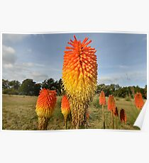 Group of Red Hot Pokers Poster