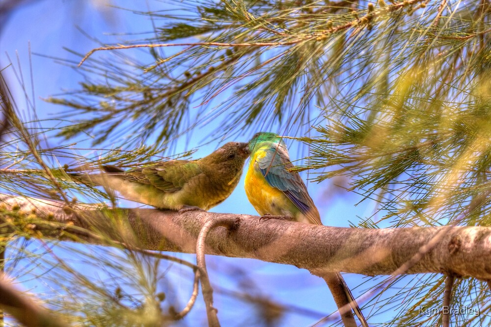 Male feeding Female Red Rump Parrot by Kym Bradley