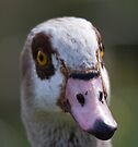 Egyptian Goose by Nigel Bangert