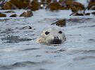 Grey Seal by Nigel Bangert