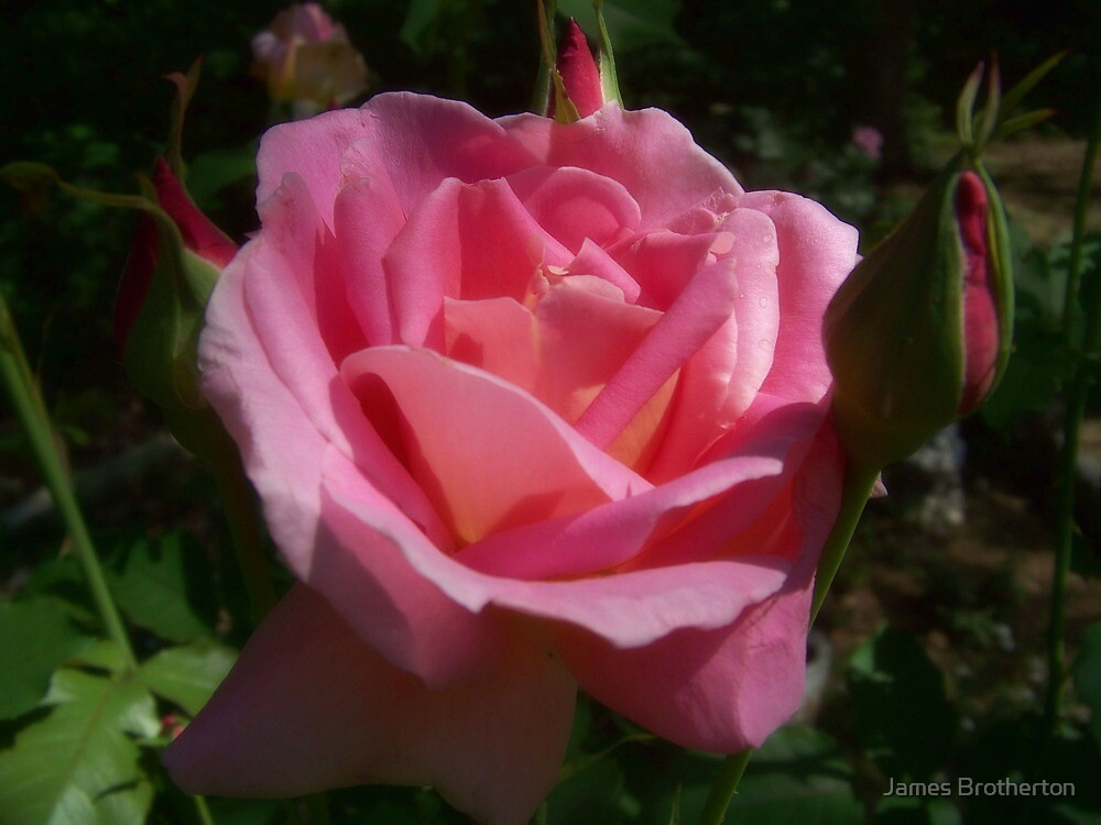 Pink Roses by James Brotherton