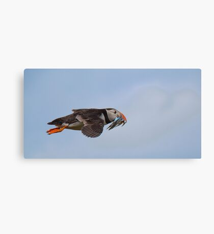 Puffin in flight Canvas Print