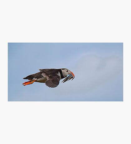 Puffin in flight Photographic Print