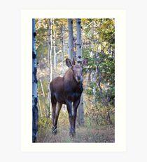 Curious Moose Calf Art Print