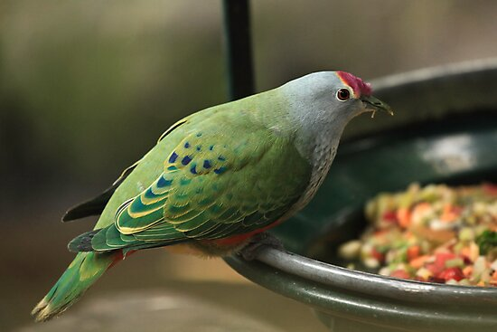 Rose-Crowned Fruit Dove by Sea-Change