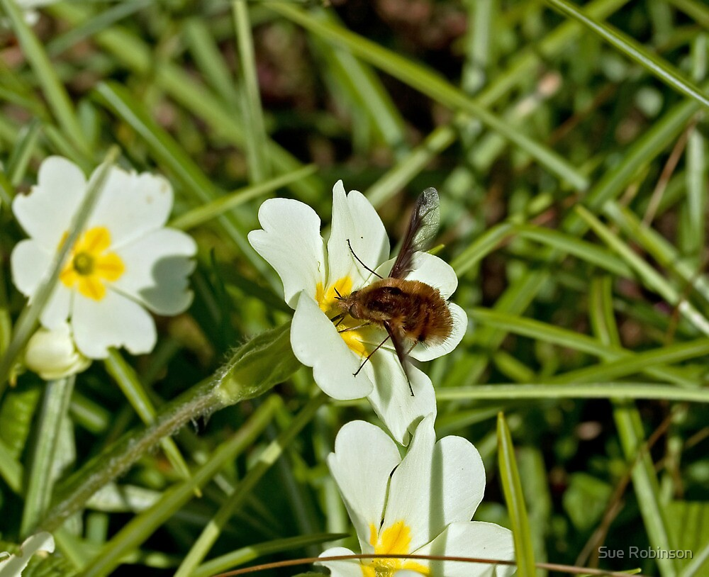 Common Bee Fly by Sue Robinson