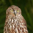 Barking Owl by Sea-Change